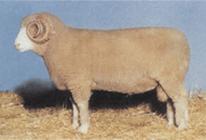 Dorset Horn